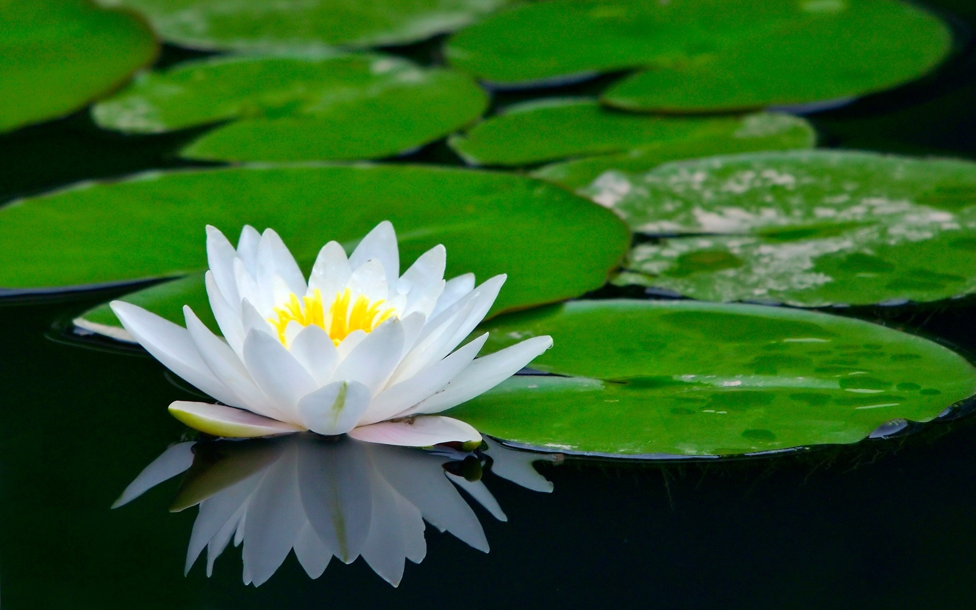 Black Lotus Flower Wallpaper Desktop Background For Widescreen